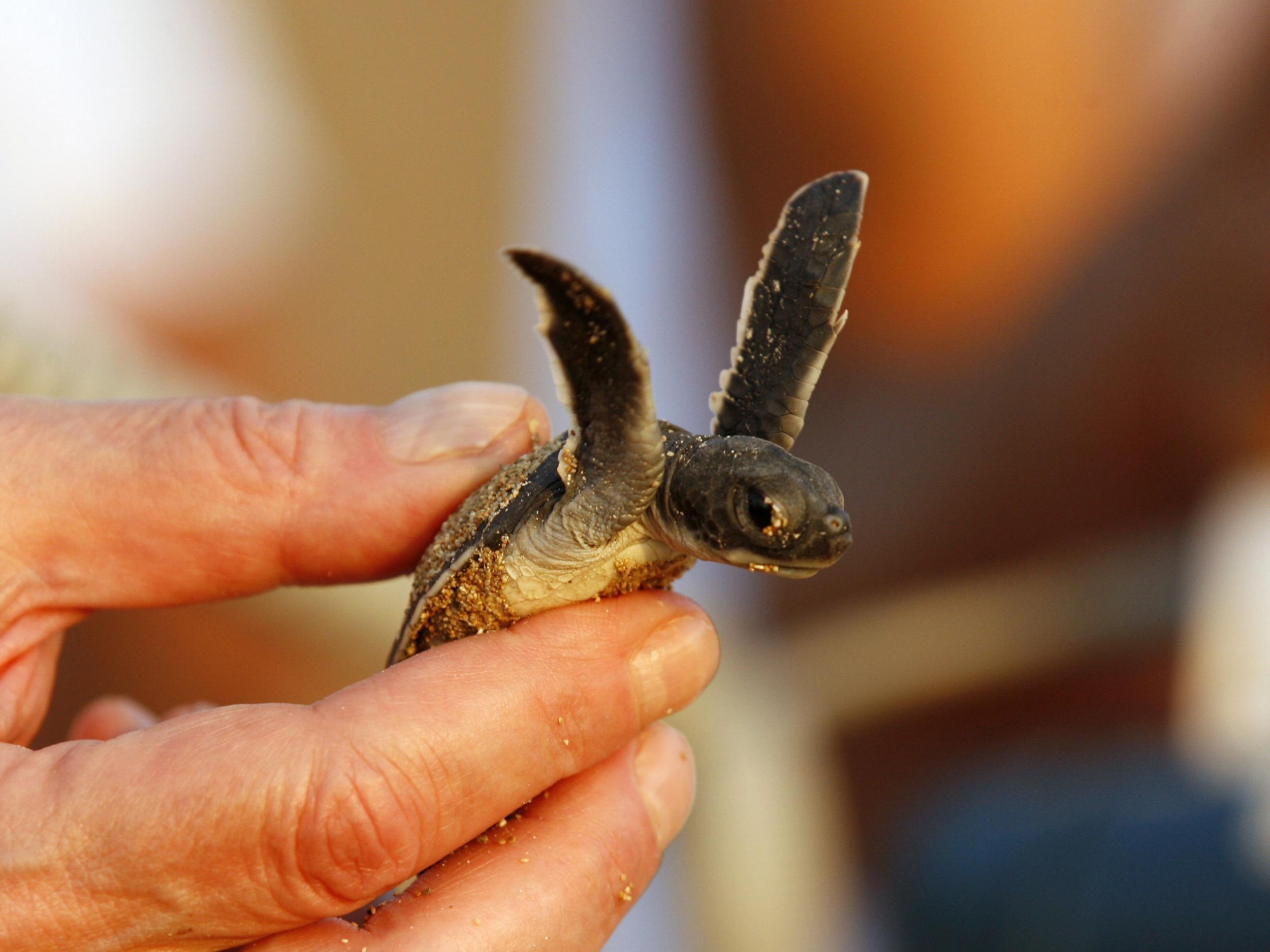 Lifespan of a Turtle